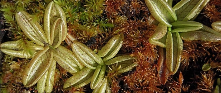 Butterworts in the Carnivorous Plant Collection
