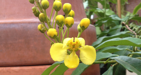 Acridocarpus zanzibaricus blooming this week