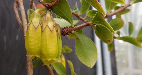 <i>Random Accession: </i>Agapetes smithiana