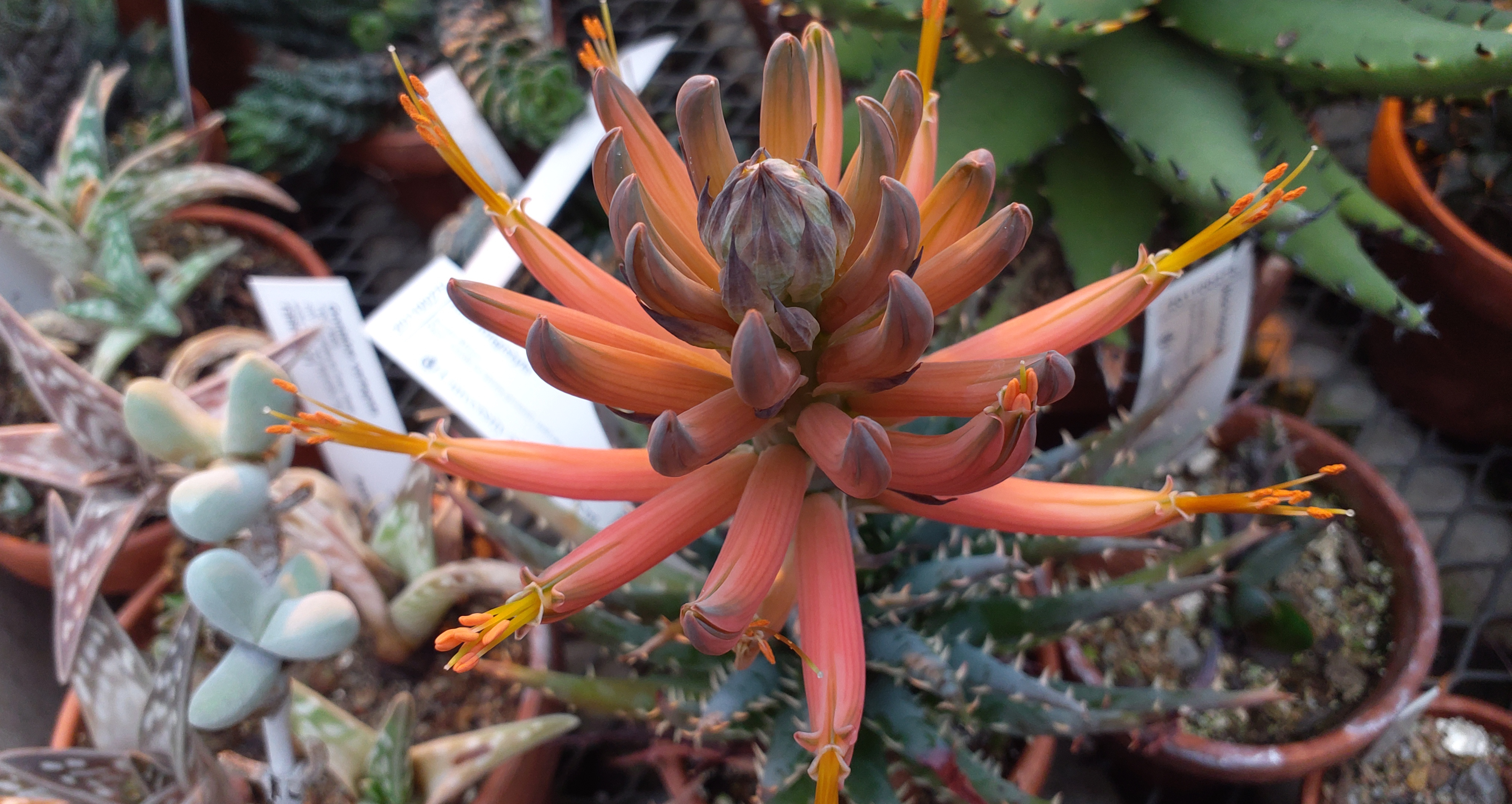 Aloe longistyla blooming this week