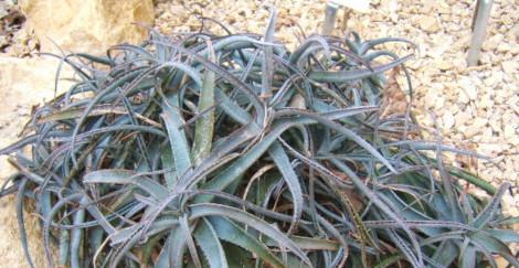 Aloe parvula blooming this week