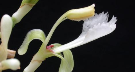 Alpinia galanga