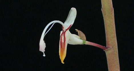Alpinia maclurei