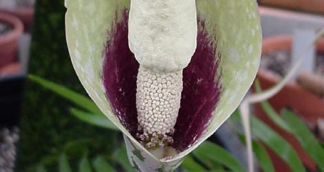 Amorphophallus dunnii