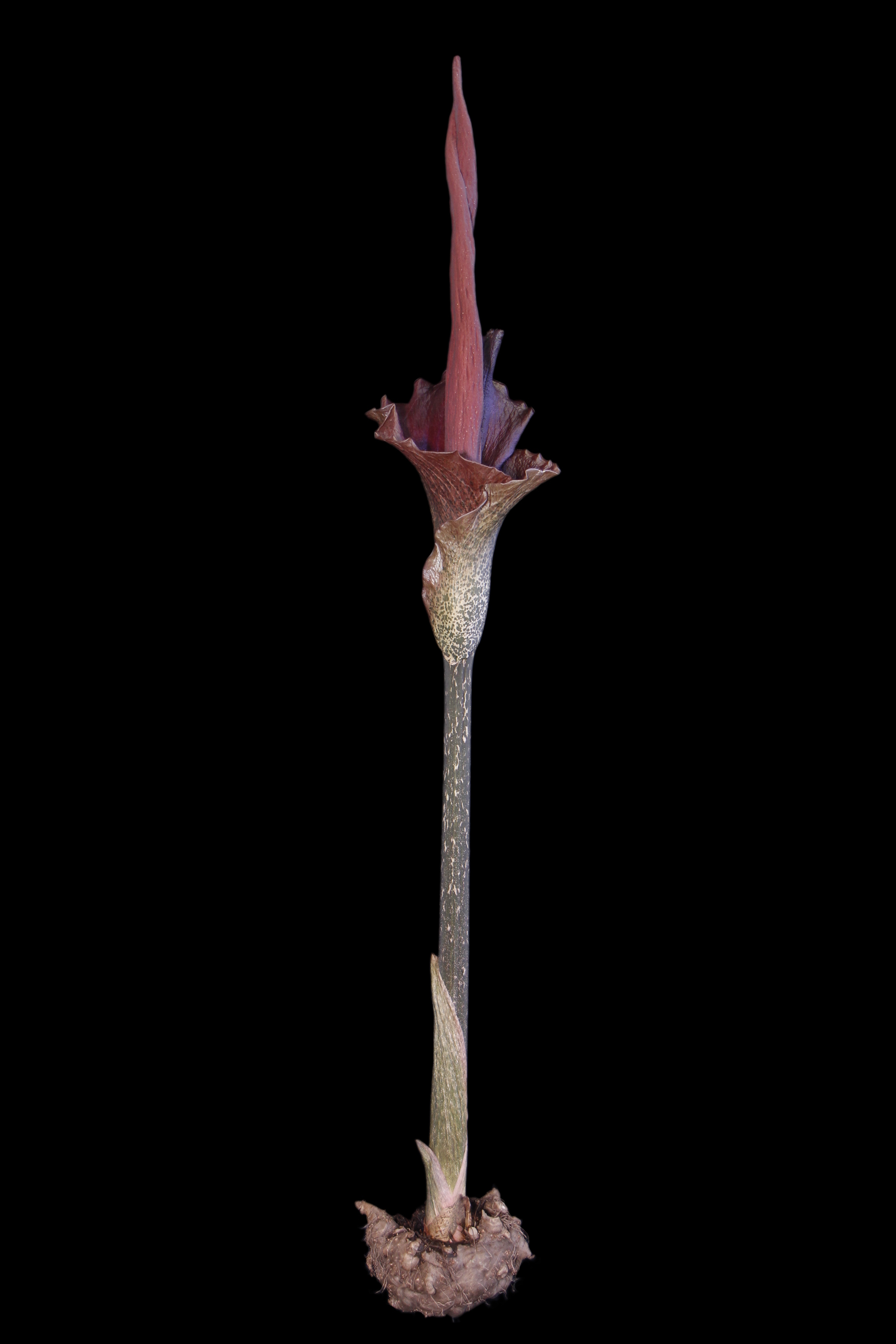 amorphophallus konjac araceae devil 39 s tongue voodoo lily. Black Bedroom Furniture Sets. Home Design Ideas