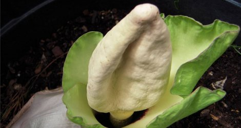 Amorphophallus prainii