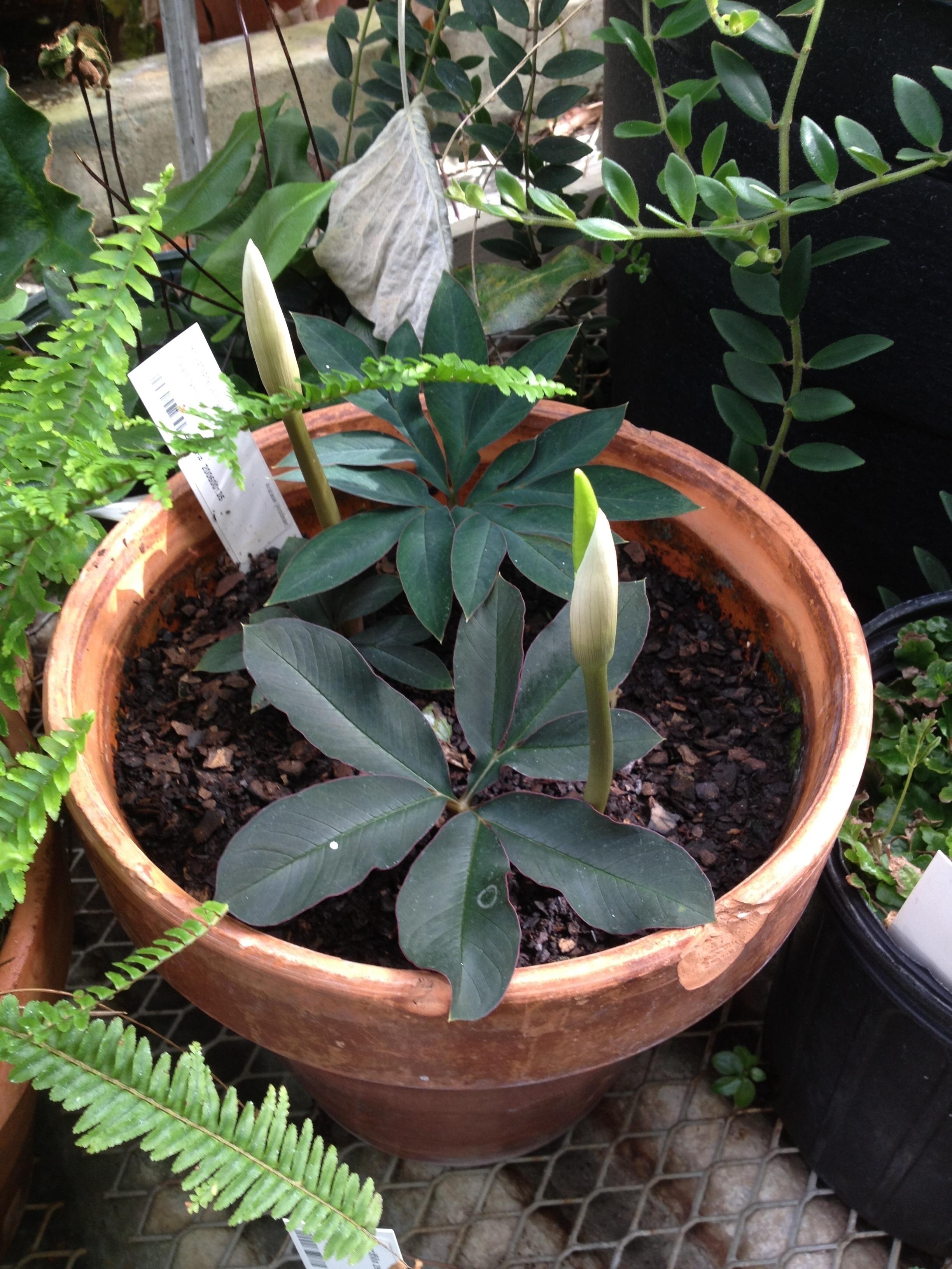 amorphophallus pygmaeus  araceae