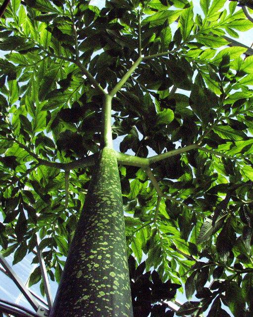 amorphophallus titanum leaf wwwpixsharkcom images