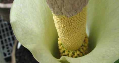 Amorphophallus variabilis