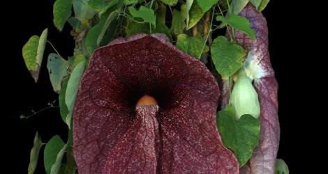 Aristolochia gigantea blooming this week