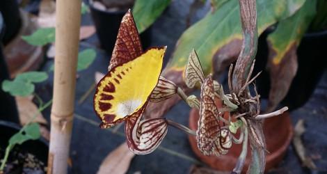 Aristolochia peruviana