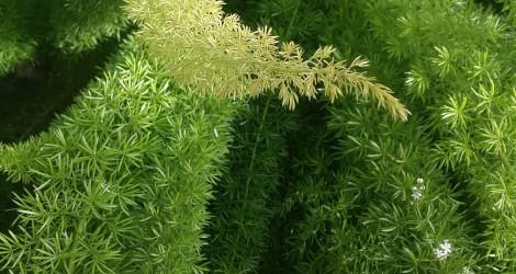Asparagus densiflorus 'Meyerii'