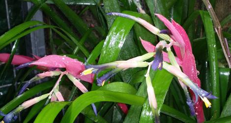 Billbergia distachia blooming this week