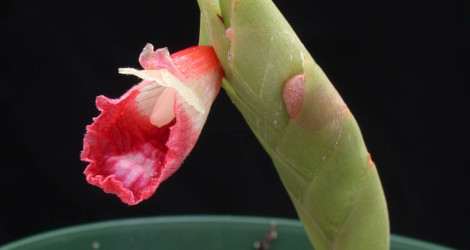 Boesenbergia albomaculata