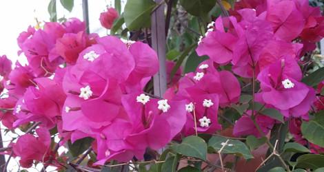 Bougainvillea spectabilis blooming this week