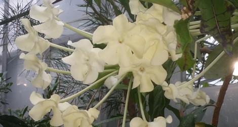Brunfelsia undulata blooming this week