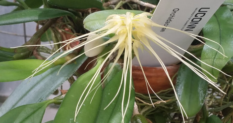 Bulbophyllum medusae blooming this week