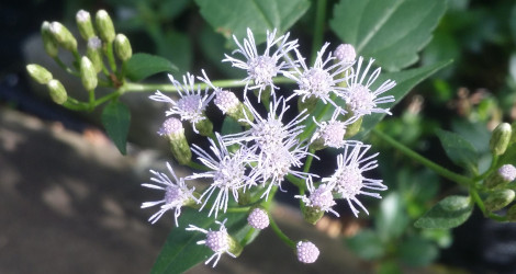 Calea zacatechichi blooming this week