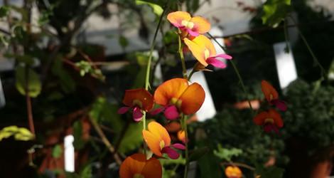 Chorizema ilicifolium