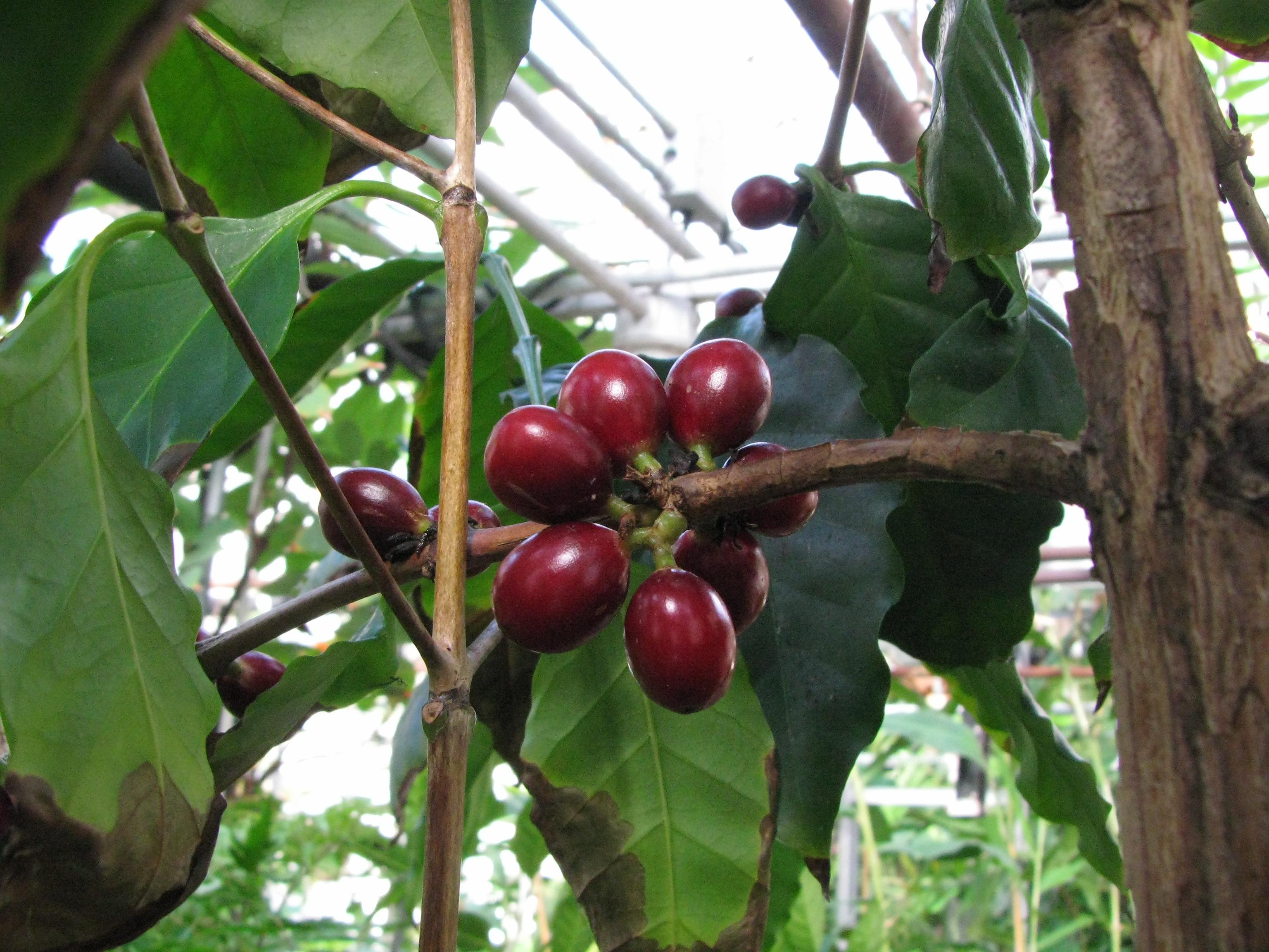 Coffea arabica rubiaceae coffee arabica coffee for Coffea arabica