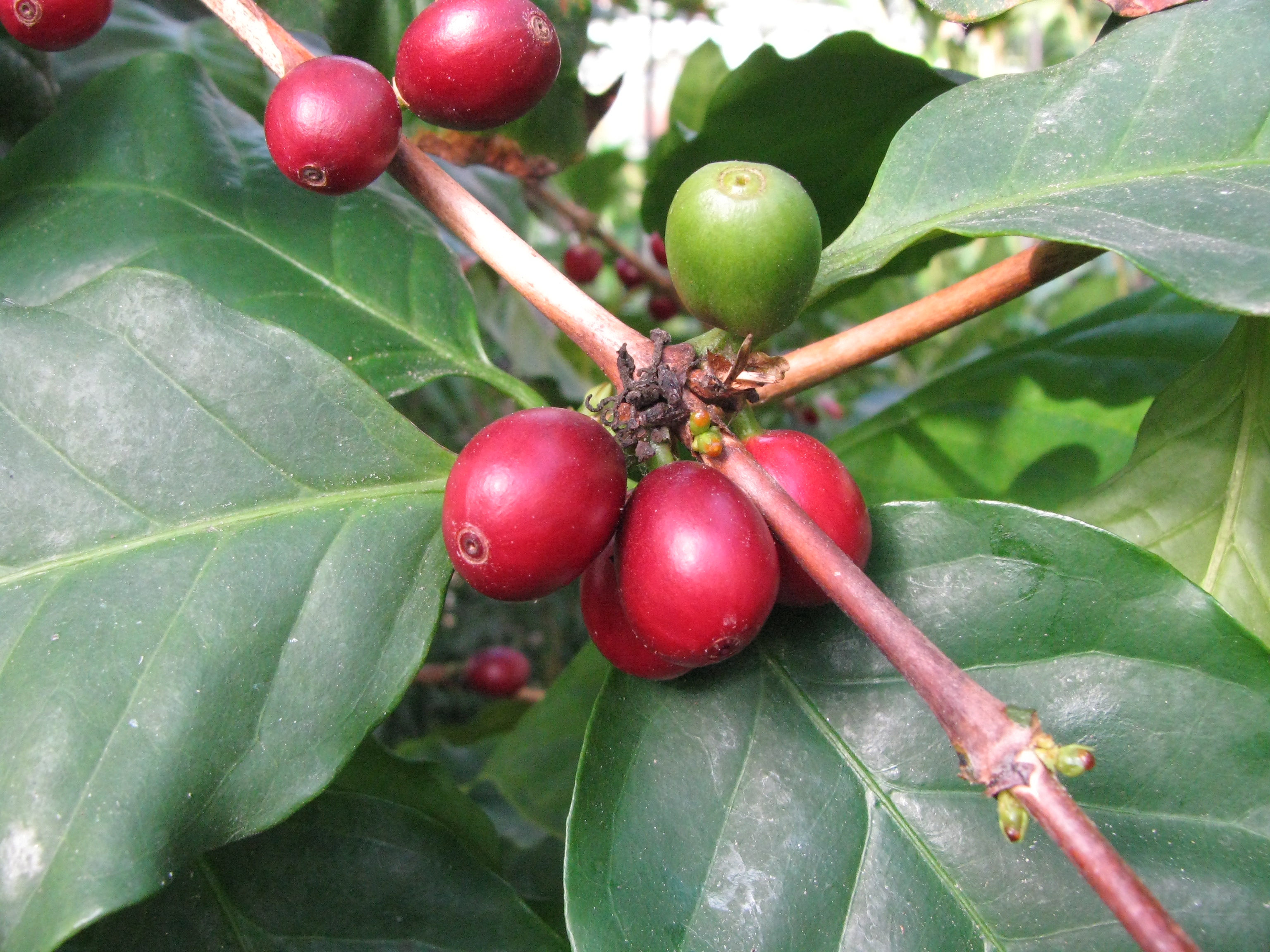 opinions on coffea arabica