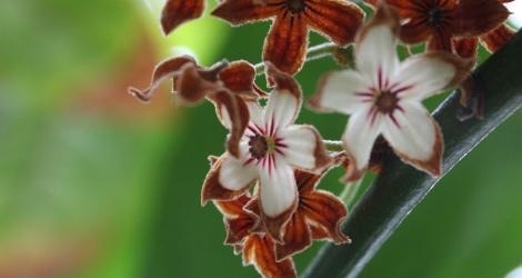 Cola acuminata blooming this week