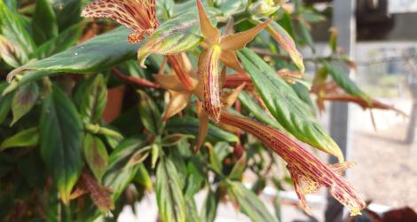 Columnea schiedeana blooming this week