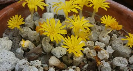 Conophytum irmae