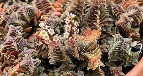 Crassula tabularis blooming this week