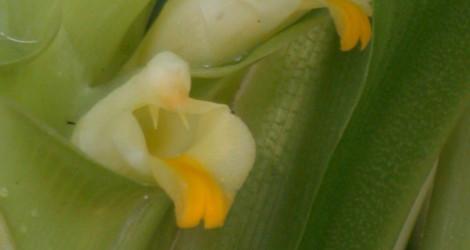 Curcuma viridiflora
