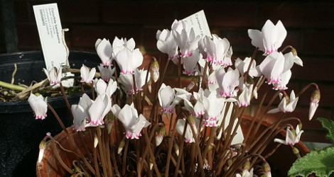 Cyclamen cyprium blooming this week