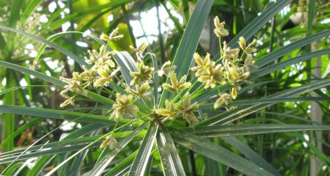 Cyperus alternifolius blooming this week