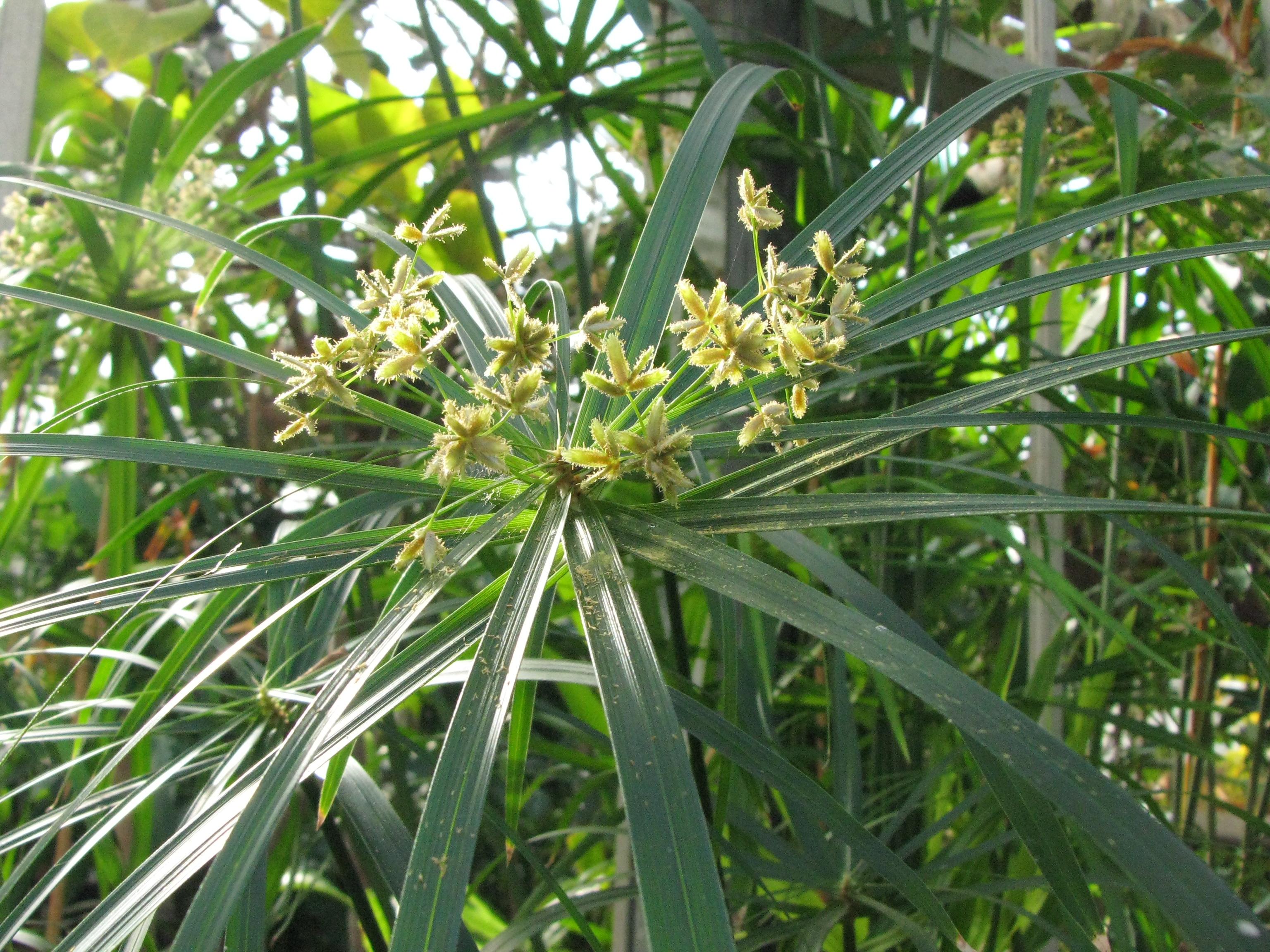 Scavenger Hunt List >> Cyperus alternifolius {Cyperaceae} Umbrella Plant
