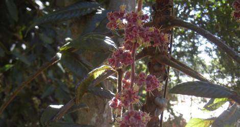 Davidsonia pruriens blooming this week