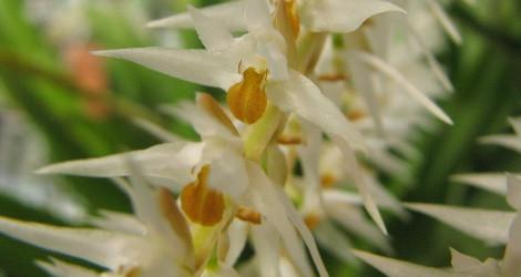 Dendrochilum glumaceum