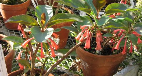 Dermatobotrys saundersii blooming this week