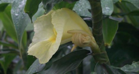 Dimerocostus strobilaceus