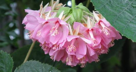 Dombeya wallichii blooming this week