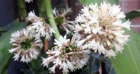 Dracaena fragrans