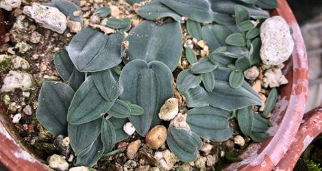 Drimia platyphylla