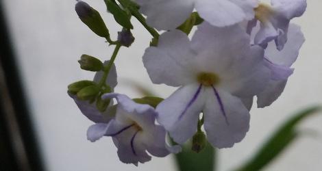 Duranta stenostachya blooming this week