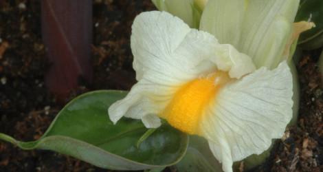 Elettariopsis smithiae