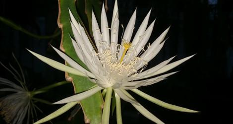 <i>Random Accession: </i>Epiphyllum hookeri subsp. guatemalense