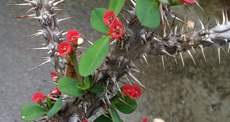 Euphorbia didiereoides blooming this week