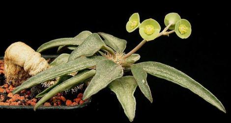 Euphorbia francoisii blooming this week