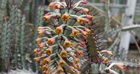 Euphorbia greenwayi var. greenwayi