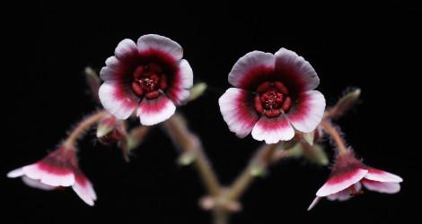 Euphorbia guiengola blooming this week
