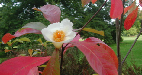 Franklinia alatamaha blooming this week