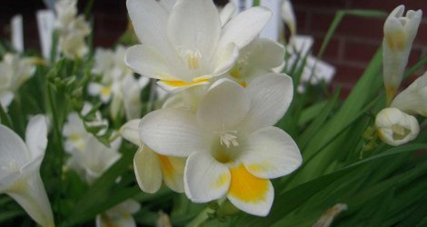 <i>Random Accession: </i>Freesia alba