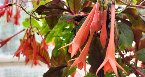 Fuchsia triphylla blooming this week